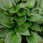 3. Hosta ´Devon Green´