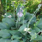9. Hosta ´Krossa Regal´
