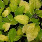11. Hosta ´Moonlight´