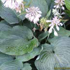 1. Hosta ´Blue Angel´
