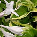 4. Hosta ´Diana Remembered´