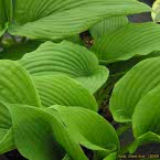 6. Hosta ´Green Acre´