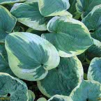 Hosta ´Snow Cap´
