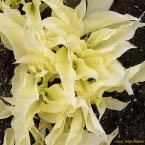 Hosta ´White Feather´