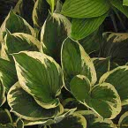 8. Hosta ´Independence´ ®