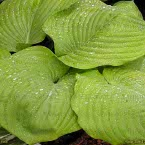 Hosta ´Sum&Substance´