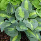 Hosta ´Touch of Class´ ®