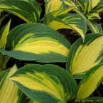 Hosta ´High Society ®´